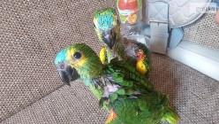 Odkupimy młode papugi do ręcznego karmienia.