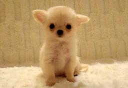 Chihuahua długowłosy ZKwP MALEŃKI