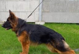 Sprzedam psa rasy owczarek niemiecki długowłosy