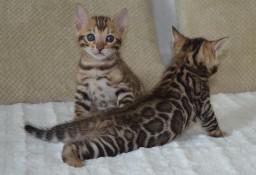 Koty bengalskie z Schelwood - mamy kocieta. :-)