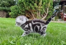 Koty Brytyjskie Whiskas