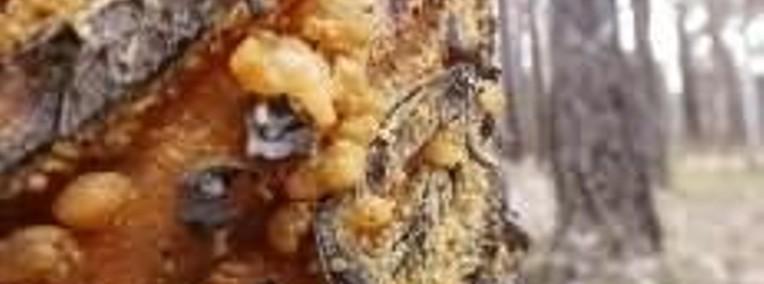 Ukraina. Kora dekoracyjna 4 zl/m3 sosna, brzoza, dab szypulkowy, klon-1