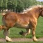 Ukraina. Ciezkie konie wlodzimierskie o duzej masie ciala w cenie zywca 3 zl/kg