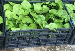 108  X  WASABI PLANTS rhizomes seed sushi japan plant PALETTE