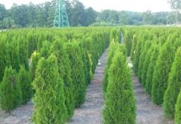 Tuja szmaragd 100-120 cm Thuja smaragd Balot Dostawa gratis