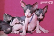 Sphynx Sfinks & BAMBINO * Śliczne Kociaki WOLNE Facbook.com/DeTrojanS