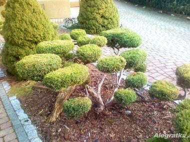 USTROŃ - OGRODY , Usługi ogrodnicze , pielęgnacja zieleni, TUJE-1