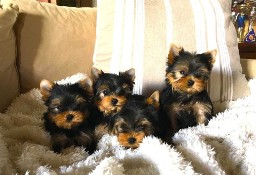 Yorkshire Terrier mini
