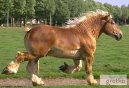 Ukraina.Ciezkie konie wlodzimierskie o duzej masie ciala w cenie3zl/kg