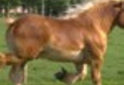 Ukraina.Ciezkie konie wlodzimierskie o duzej masie ciala w cenie zywca 3 zl/kg