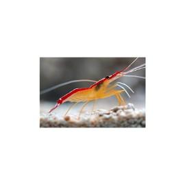Lysmata amboinensis - krewetka do akwarium morskiego