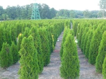 Tuja szmaragd 100-120 cm Balot Thuja smaragd Dostawa gratis