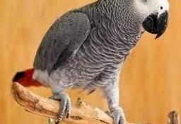 Afrykańska szara papuga rudosterna o doskonałym rodowodzie