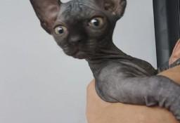 Miniaturowy • Bambino Toy Kotka Kocurki czarne jeden krówka i szylkret