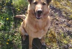 LAKI cudowny pies w typie Owczarka Niemieckiego marzy o domu