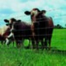 Ukraina.Stada krow, owiec, koz 4 zl/kg w cenie zywca