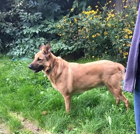 LAKI piękny owczarkowaty psiak szuka wspaniałego domku