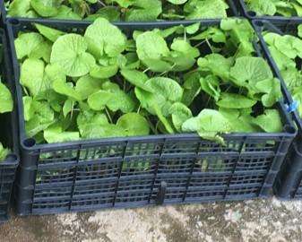 54  X  WASABI PLANTS  FARM sadzonki plants seed sushi japan plant