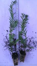 "Cis Pośredni ""Hicksi"" 20 cm 1,40zł/szt. Sadzonka Taxus"