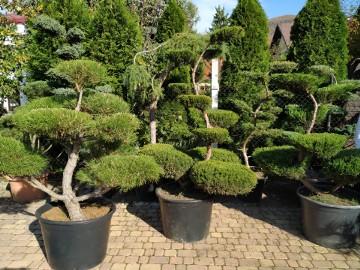 Bonsai  , Bonsai do ogrodu ,rośliny bonsai , Nivaki - drzewka formowane do ogrodu śląsk ,małopolska