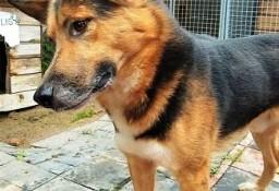 BRIX - piękny psiak w typie owczarka szuka domu!