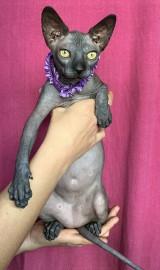 NOWE 3 MIOTY Hodowla Bezwłosych kotów Sphynx & Bambino * De'TrojanS.Pl