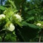 Ukraina.Orzechy wloskie,laskowe 3 zl/kg w skupie sezonowym.Sprzedam PGR-y,sady