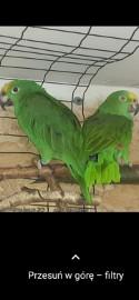 Amazonka żółtogłowa surinamska para lęgowa