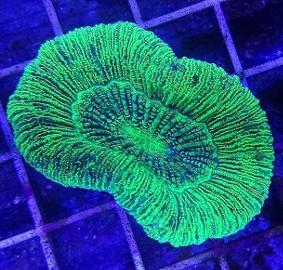Trachyphyllia koralowiec LPS do akwarium morskiego