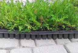 Cis Taxus Baccata Multipaleta 5-15cm Chojnice