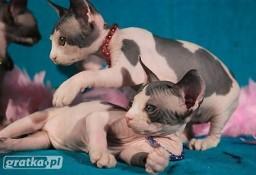 Obecnie mamy kociaki Bambino i nowy miot Sphynx Dostępn cudne maluszki