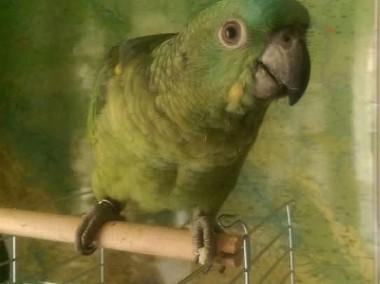 Odkupimy papugi dorosłe, również młode do ręcznego karmienia-1