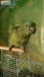 Odkupimy papugi dorosłe, również młode do ręcznego karmienia