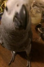 Odkupimy papugi dorosłe, również młode do ręcznego karmienia-2