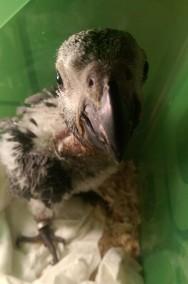 Odkupimy papugi dorosłe, również młode do ręcznego karmienia-3