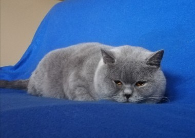 Brytyjski Kot