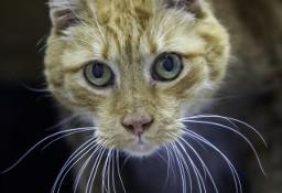 Rudzik - koci dżentelman szuka domu