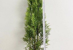 Tuja szmaragd 70-90cm Donica 3-5L