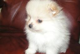Szpic miniaturowy, Pomeranian
