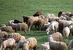 Ukraina.Owce kozy miesne 140 zl/szt,jagniecina 3 zl/kg.10tys.ha