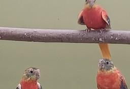 Łąkówki turkusowe opalowe
