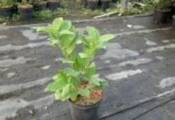 Laurowiśnia Wschodnia 'Rotundifolia' 30-50cm Donica 2L