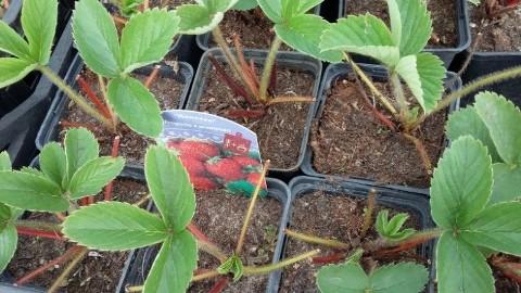 Sadzonki truskawek największy wybór WARSZAWA WAWER
