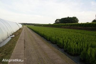 TUJE  , TUJE SZMARAGD ,tuje Brabant - Bielsko Biała  -najtaniej ! cena  sadzenie ,transport