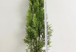 Tuja Szmaragd Donica 5L 70-90cm
