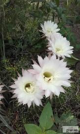 Kaktus Echinopsis (Echinopsis).