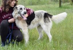 Duży psiak Desperados szuka domu