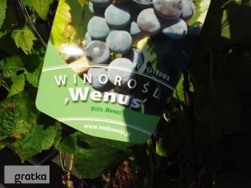 Winorośla, sadzonki winogron Warszawa