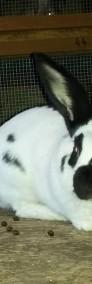 króliki samczyki i samiczki srokacze OSC-4