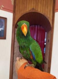 Papuga -Lora Wielka samiec -oswojony z 2020r
